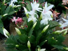 flor de maio