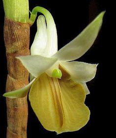 Dendrobium ellipsophyllum orchidea semi