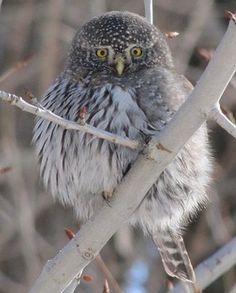 Owls in Utah County