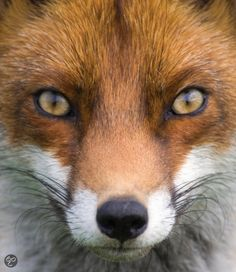 red fox what does the fox say ? Nature Animals, Woodland Animals, Animals And Pets, Baby Animals, Cute Animals, Wildlife Nature, Wild Animals, Beautiful Creatures, Animals Beautiful