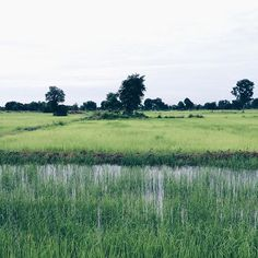 Today was such a peaceful and energetic day. We rode our bikes around the outskirts of Battambang interacted with some local people and went to have dinner to a restaurant owned by a Spanish priest that has an NGO here in Cambodia.  On the pic: the rice fields we were riding next to.  #vsco #FateInAsia #battambang #cambodia #khmer #backpacker