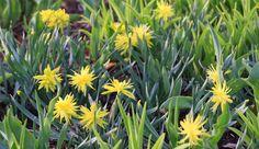 Paul's Plant Picks: One of the many shining spring stars in the gardens, Narcissi 'Rip Van Winkle' - Toronto Botanical Garden Rip Van Winkle, Horticulture, Botanical Gardens, Sunny Days, Toronto, Bloom, Gardening, Stars, Spring