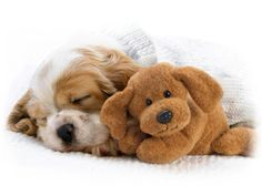 Cavalier King Charles Spaniel Puppy, so adorable! Cavalier King Charles, King Charles Spaniel, Sleeping Animals, Sleeping Puppies, Cute Puppies, Cute Dogs, Dogs And Puppies, Bear Dogs, Doggies