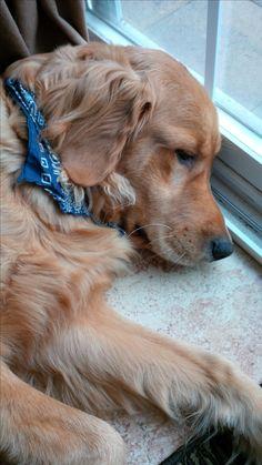 Adorable Bear Golden Retriever Dogs #Puppies #Dog #Puppy