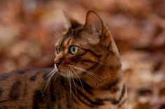 Photographing Bengal cats in the fall leaves is so cool. :-)