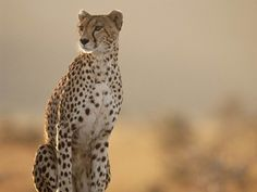 http://www.animalstown.com/animals/c/cheetah/wallpapers/cheetah-wallpaper-4.jpg