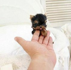 Un Yorkie toy adorabile! #cute #puppy