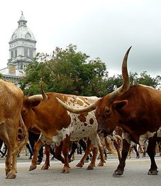 Annual Longhorn Cattle Drive in Bandera, Texas.