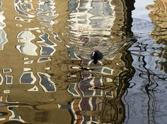 Bird swimming through a reflection of houses in the canals of Amsterdam