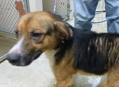 Meet 27760 Jimmy is goiing to RESCUE, an adopted Beagle Mix Dog, from Friends of the Animal Shelter of St. in Saint Joseph, MO on Petfinder. Learn more about 27760 Jimmy is goiing to RESCUE today. Animal Adoption, Animal Rescue, Pet Adoption, Rescue Dogs, Pet Dogs, Pets, Small Dog Breeds, Small Breed, Mixed Boy