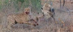 #Safari #Africa #Travel  #luxury #Bestvacations #Wildlife #Tourism Wildlife Tourism, Coat Of Many Colors, Mixed Emotions, Days Like This, Two Brothers, Cheetahs, Hyena, Africa Travel, Best Vacations