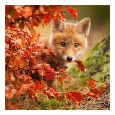 Best collection of cute Fox pictures. These pictures will make you fall in love with the fox all over again. Fox is one of the cutest animals in the universe. Nature Animals, Animals And Pets, Autumn Animals, Wild Animals, Nature Nature, Wild Nature, Beautiful Creatures, Animals Beautiful, Beautiful Scenery