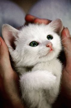 A kitten's trust and love perfectly captured in a glance. Gorgeous white kitten.