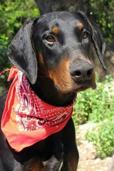#Doberman - she looks like my baby did and I miss her every day