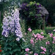 Pink & Purple Plant Combinations - Clematis, Hollyhocks & Delphiniums