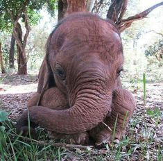 Lasayen 1 month old orphan Via Scheldtick Trust Adopt An Elephant, Elephant Love, Elephant Art, Elephant Gifts, Cute Baby Animals, Animals And Pets, Baby Elefant, David Sheldrick Wildlife Trust, Elephant Images