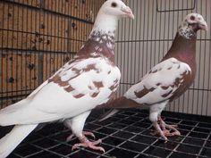Pigeon Pictures, Pigeon Breeds, Homing Pigeons, Pigeon Loft, Pet Birds, Racing, Lofts, Teaching English, Pakistan