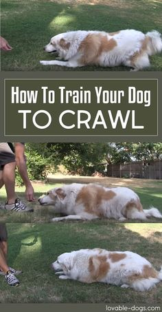 How To Train Your Dog To Crawl!	►►	http://lovable-dogs.com/how-to-train-your-dog-to-crawl/?i=p