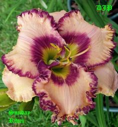 Photo of Daylily (Hemerocallis 'Sunday River'). Photo Location: Fort Worth Tx on Caption: Daylily (Hemerocallis \\ Tropical Flowers, Little Free Pantry, Types Of Lilies, Full Sun Plants, Home Garden Plants, Garden Projects, Garden Ideas, Day Lilies, Photo Location