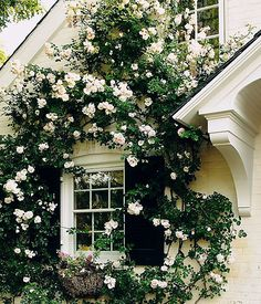 Sprawling white New Dawn roses only amplify the classic architecture of this historic brick home. The beauty of this variety of rose is that it loves to climb and prefers as little pruning as possible.