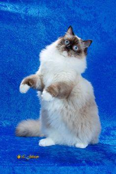 Rhetorical Ragdolls - Ragdoll Cats & Kittens: Ragdoll Kittens in Massachusetts!