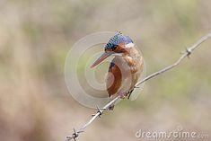 Photo about Malachite Kingfisher - Alcedo Cristata - Wakkerstroom - South Africa. Image of kingfisher, bill, colorful - 56855432 Kingfisher, Malachite, South Africa, Southern, Birds, Stock Photos, Animals, Image, Animales