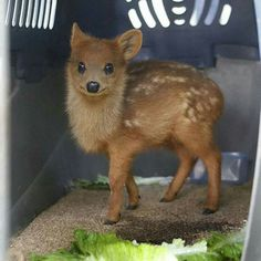 Worlds smallest deer, the pudù
