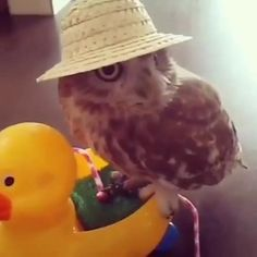 The owl comedy hour. Funny Owls, Funny Birds, Cute Funny Animals, Animal Jokes, Funny Animal Memes, Funny Animal Pictures, Owl Pictures, Tierischer Humor, Cute Animal Videos