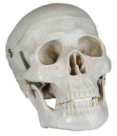PHYSIQUE Anatomical Lifesize Human Skull Model with Removable Skull Cap and Articulated Mandible Skull Model, Human Skull, Physique, Ebay, Frankenstein, Anatomy, Bones, Amazon, Image
