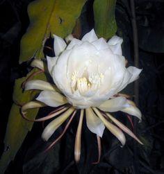 Lily (Ornithogalum umbellatum) 'Star of Bethlehem' flower white = Reconciliation, Atonement, hope
