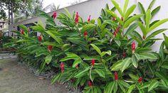 A Alpinia purpurata é uma espécie perene pertencente a família botânica Zingiberaceae, que aprecia regiões de clima litorânea, ou seja, ...