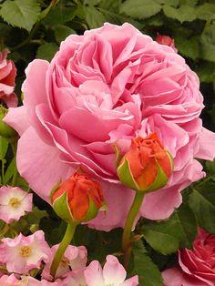 Rose 'Princess Alexandra of Kent'