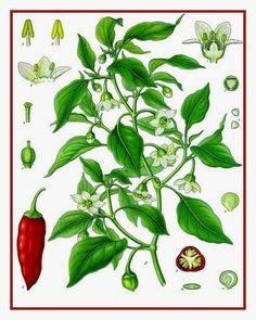 """Pimenta – Capsicum spp - Pimenta, Malagueta, Pimenteira, Piri-piri O gênero Capsicum inclui plantas de frutos picantes, conhecidos como pimentas, assim como plantas de frutos """"doces"""", os pimentões.  http://sergiozeiger.tumblr.com/…/pimenta-capsicum-spp-pimen…  As pimentas são cultivadas principalmente com fins alimentares, medicinais, condimentares e ornamentais."""