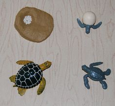 Sea Turtle Life Cycle:  Eggs, Hatchling, Juvenile/Young, Adult