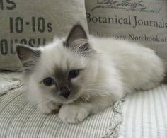 Sacred Birman Cat ( blue point ), not a Ragdoll. Probably THE cutest cat I have ever seen