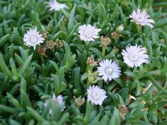 Ruschia 'Nana' has small white flowers with pink stripes that appear from late winter to early spring. It is a low pollen, allergy-friendly groundcover. Water Wise Landscaping, Succulent Landscaping, Flowering Succulents, Small White Flowers, Star Nursery, Dream Garden, Evergreen, Weed, Lawn