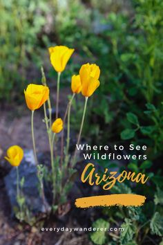 Best places to see wildflowers in Arizona from Phoenix Arizona to Tucson Arizona. Arizona wildflowers come in a variety of colors including orange, red, and yellow. Watch for wildflowers on Arizona hiking trails and during other Arizona hikes. Look for wildflowers during the superbloom on Arizona travel road trips or other Arizona travel during your Arizona vacation. #phoenix #tucson #arizona #scottsdale #us #usa #ustravel Arizona Road Trip, Arizona Travel, Tucson Arizona, Phoenix Arizona, Arizona Wildflowers, Orange Red, Yellow, United States Travel, Vacation Spots