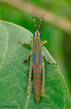 Unidentified grasshopper — by Elvin John Weird Insects, Cool Insects, Bugs And Insects, Beautiful Bugs, Beautiful Butterflies, Beautiful Creatures, Animals Beautiful, Cool Bugs, Insect Art