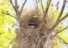 O ninho do Bem-te-vi (Pintangus sulphuratus) é esférico, com entrada lateral na parte superior, feito em uma forquilha de um galho. É bem feito, com diferentes vegetais secos. A postura consta de 4 ovos brancos e alongados. Fotografado em Brasília, DF, Brasil.     - 01-09-2011 - IMG_9143