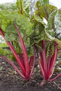 """How to Grow Chard."" If we did it, you can do it! Our first harvest from Boaz Fields in 2012 was 7 pounds of chard."