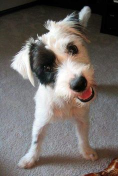 Patches the Jack Russell Terrier Mix Pictures 6992 Perros Jack Russell, Jack Russell Dogs, Jack Russell Terrier, Golden Retrievers, Pet Dogs, Dog Cat, Doggies, Chihuahua Dogs, Cute Puppies