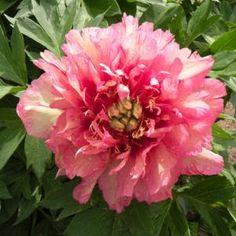 Paeonia 'Hilary'    Hybrid of a garden peony and a tree peony!  I want!!