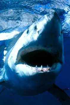 Shark! Great white!!