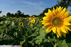 Vor ein paar Tagen war es noch so.   #Spätsommer #Sonnenblume