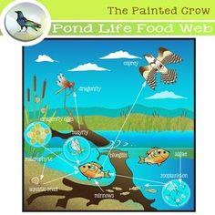 Pond Life Food Web Clip Art - Aquatic Ecosystem for classroom or personal use. Aquatic Ecosystem, Marine Ecosystem, Pond Habitat, Crow Logo, Ocean Food, Science Clipart, School Projects, Classroom Projects, Classroom Ideas