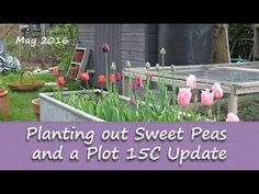Katie's Allotment - May 2016 - Sweet Peas and an Update