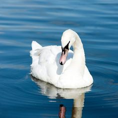 Reflections of a Swan