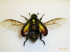 The  protective cases, the elytra. There are two different colours of the beetle wings…