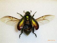 beetle wings - Google Search