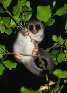 The Fat-Tailed Dwarf #Lemur: The World's Only Hibernating Primate. It hibernates to survive #Madagascar's annual drought. More: http://blogs.scientificamerican.com/brainwaves/2012/06/18/the-mysterious-brain-of-the-fat-tailed-dwarf-lemur-the-worlds-only-hibernating-primate/